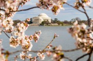 cherry blossoms and Jeff Memorial-2